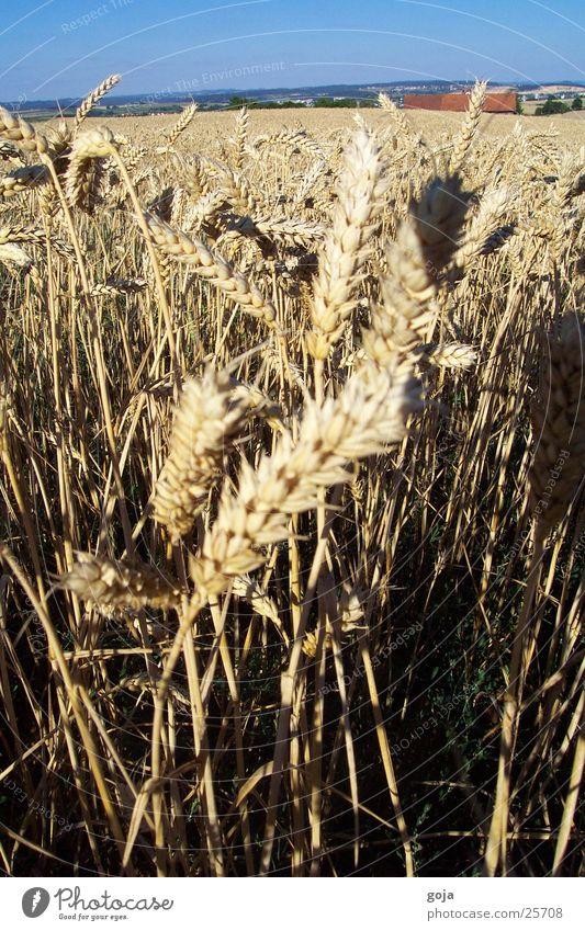 weizenfeld im sommer Natur Himmel Sommer Feld Korn Weizen