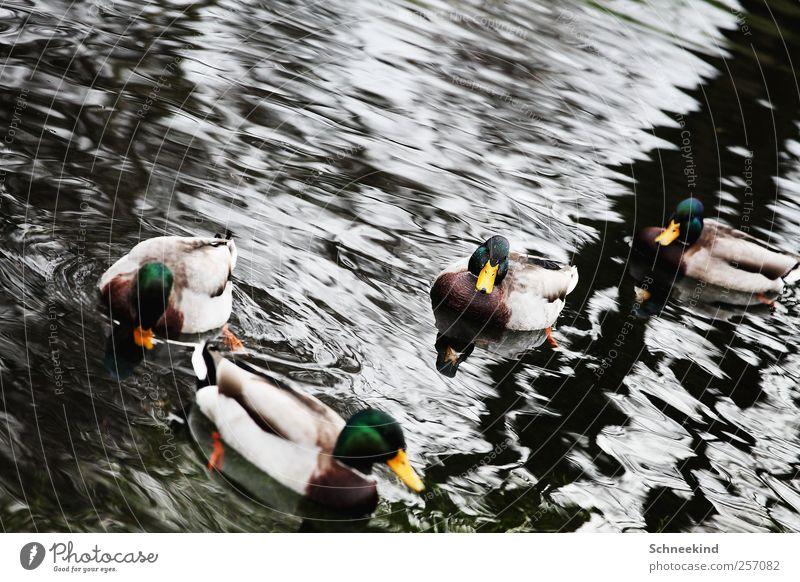 Badeenten Natur Wasser Seeufer Flussufer Tier Wildtier 4 Tiergruppe Schwimmen & Baden Ente Schnabel Wellen Rudel Feder Farbfoto Außenaufnahme Menschenleer