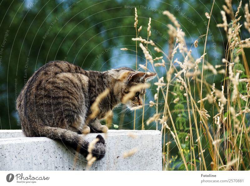 Auf der Jagd Umwelt Natur Pflanze Tier Sommer Wetter Schönes Wetter Wärme Gras Garten Park Wiese Haustier Katze Fell 1 frei nah natürlich klug sportlich trocken