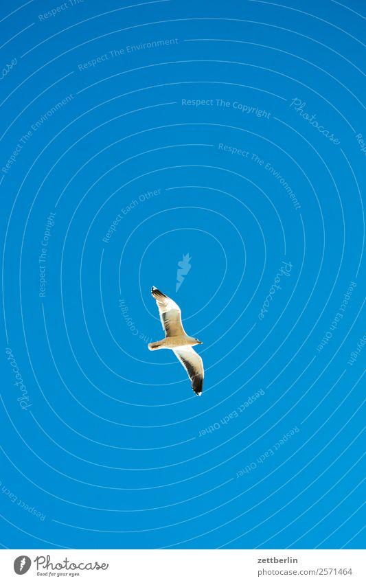 Möwe Vogel Meeresvogel Flügel fliegen fliegend Vogelflug Gleitflug Einsamkeit einzeln Himmel Himmel (Jenseits) Wolkenloser Himmel Blauer Himmel himmelblau