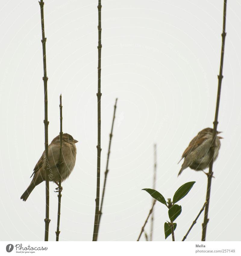 Seite an Seite Umwelt Natur Pflanze Tier Sträucher Ast Nutztier Vogel Spatz 2 Tierpaar festhalten hocken sitzen frei Zusammensein klein natürlich niedlich grau