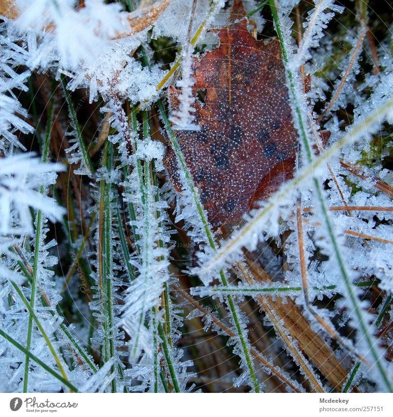 Gefriergetrocknet Natur Pflanze Wasser Wassertropfen Winter Eis Frost Schnee Gras Sträucher Blatt Wiese Feld authentisch frisch glänzend kalt nass natürlich