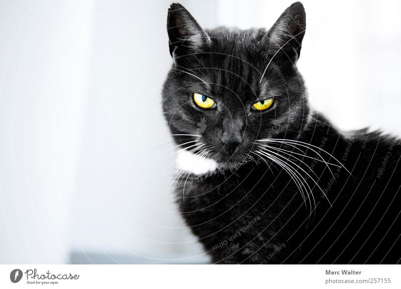 Seriously? Katze Tier schwarz ruhig gelb kalt Zufriedenheit außergewöhnlich Coolness bedrohlich Körperhaltung beobachten Neugier geheimnisvoll Langeweile Fragen