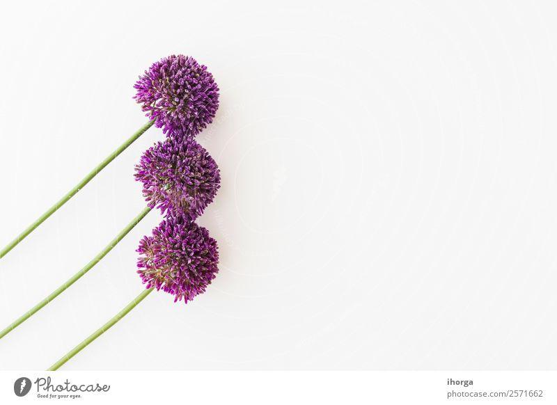 Allium isoliert auf weißem Hintergrund Gemüse Kräuter & Gewürze elegant schön Sommer Garten Dekoration & Verzierung Natur Pflanze Blume Wachstum frisch