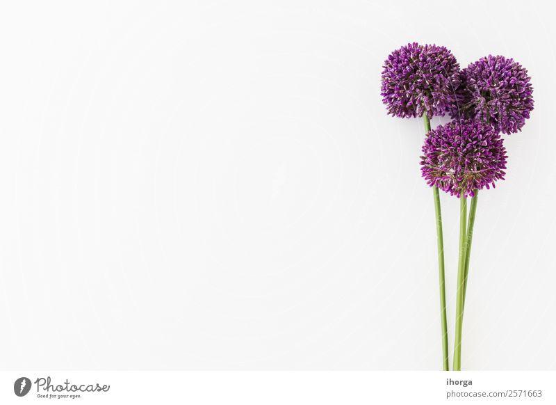 Allium isoliert auf weißem Hintergrund mit menschlicher Hand Gemüse Kräuter & Gewürze elegant schön Sommer Garten Dekoration & Verzierung Natur Pflanze Blume
