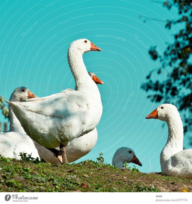 Gans frisch Himmel Natur blau grün weiß Tier Umwelt Gesunde Ernährung Wiese Glück Vogel wild frei authentisch Tiergruppe Freundlichkeit