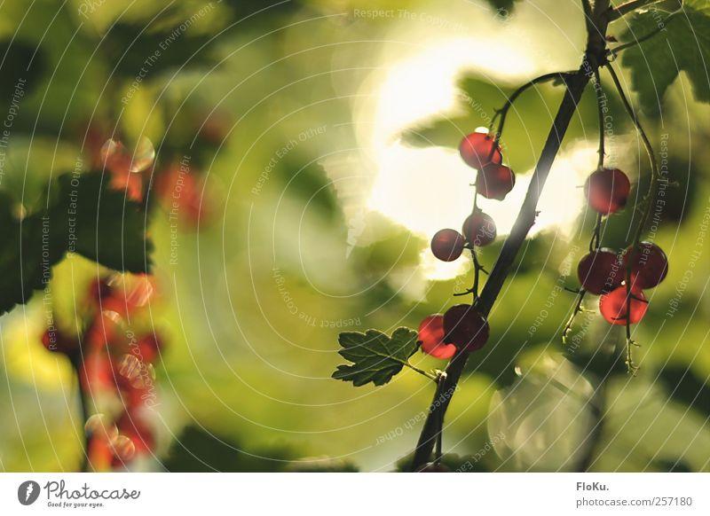 Wilde Johannisbeeren Natur grün rot Pflanze Sommer Blatt Ernährung Umwelt Lebensmittel Park hell Frucht süß Sträucher rund Schönes Wetter