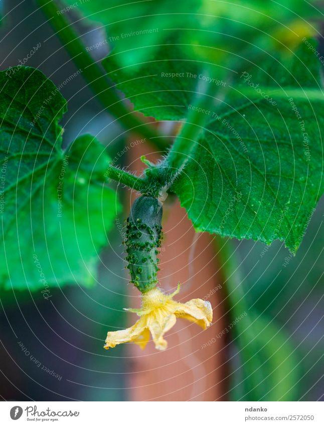 frische junge grüne Gurke Gemüse Ernährung Vegetarische Ernährung Sommer Garten Gartenarbeit Natur Pflanze Blume Blatt Wachstum klein natürlich gelb Salatgurke