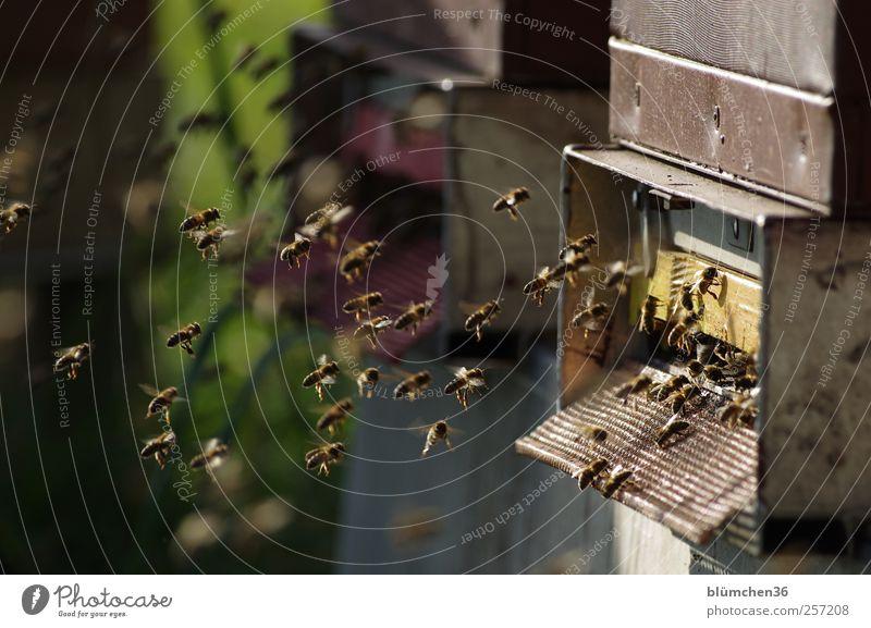 Flying home for christmas Tier Nutztier Biene Schwarm fliegen tragen süß Ausdauer fleißig diszipliniert Teamwork Bienenstock Honig Honigbiene Völker Pollen