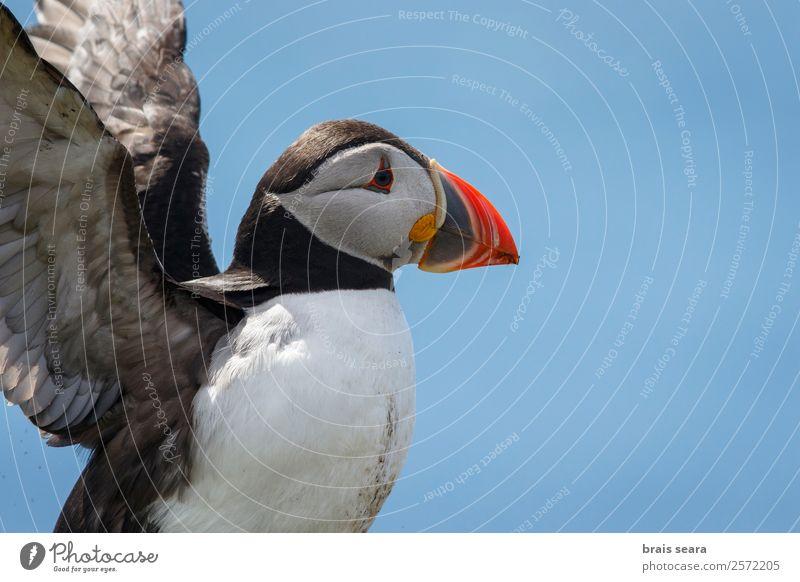 Papageientaucher Biologie Ornithologie Biologe Umwelt Natur Tier Erde Küste Schottland Wildtier Vogel Tiergesicht Flügel Papageitaucher 1 fliegen frei wild blau
