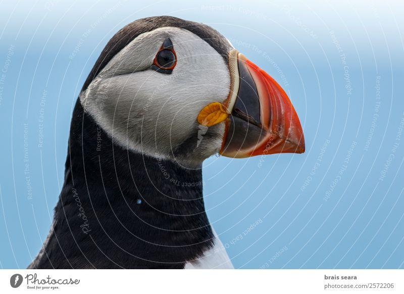 Papageientaucher-Porträt Ferien & Urlaub & Reisen Safari Ornithologie Biologie Umwelt Natur Tier Erde Küste Schottland Wildtier Vogel Papageitaucher 1 frei