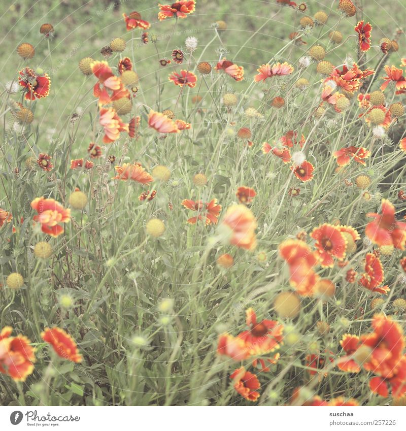 FROHE WEIHNACHTEN! Natur grün rot Pflanze Sommer Blume Wiese Umwelt Gras Garten Frühling frisch Blühend Duft Frühlingsgefühle Blütenstiel
