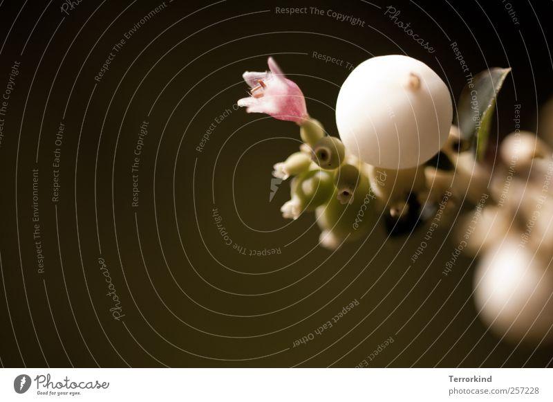 Chamansülz 2011   fast.wie.schnee grün weiß Sommer Blatt schwarz Blüte hell rosa rund Kugel Beeren kugelrund
