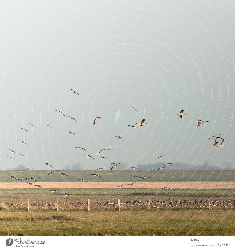 Frohes Fest blau grün gelb Glück Vogel fliegen wandern frei wild Wildtier Fressen Deich Schwarm Schleswig-Holstein Wildgans Dithmarschen