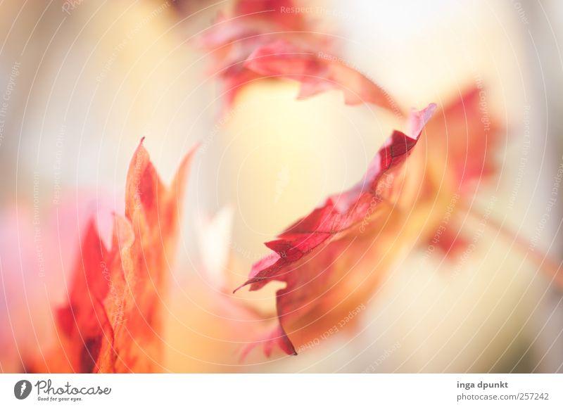 Licht Natur Pflanze weiß rot Blatt Umwelt Wärme Gefühle Herbst Stimmung Sträucher Vergänglichkeit Schönes Wetter Hoffnung Meditation Herbstlaub