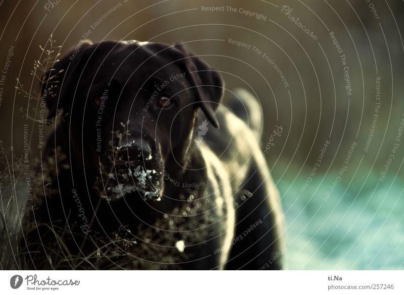 Acht Hundejahre Garten Wiese Haustier Tiergesicht Fell Labrador 1 Blick frei Freundlichkeit Neugier blau schwarz Treue Farbfoto Außenaufnahme Nahaufnahme Abend