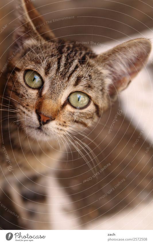 Kid Cat Tier Haustier Katze Tiergesicht 1 Tierjunges niedlich braun Katzenbaby Gedeckte Farben Außenaufnahme Menschenleer Textfreiraum unten Tag