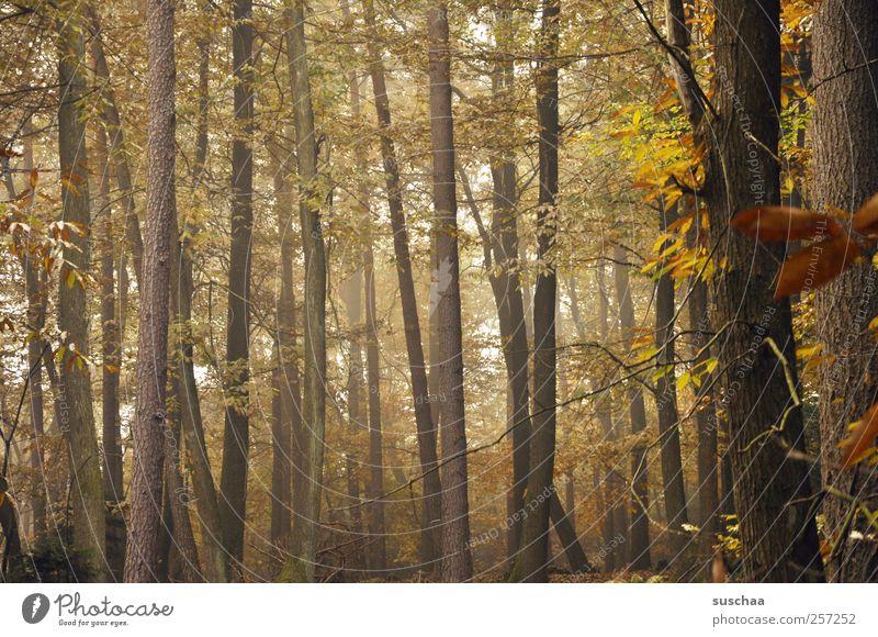 pfälzer wald III Umwelt Natur Herbst Klima Baum Wald Holz braun gold ruhig Idylle Wandel & Veränderung Baumstämme Blatt Herbstlaub Nebel Gedeckte Farben