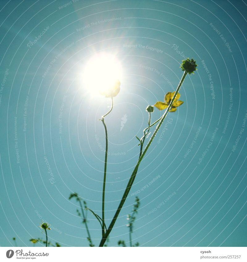Sonnenblume ;-) Natur Pflanze Luft Himmel Wolkenloser Himmel Sonnenlicht Frühling Sommer Schönes Wetter Blume Blüte hell grell leuchten Elektrizität