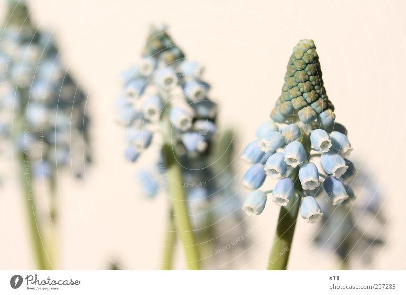 der Frühling kommt bestimmt! Natur blau grün schön Pflanze Blume Umwelt Gefühle Blüte Garten Park ästhetisch Wachstum Blühend Duft
