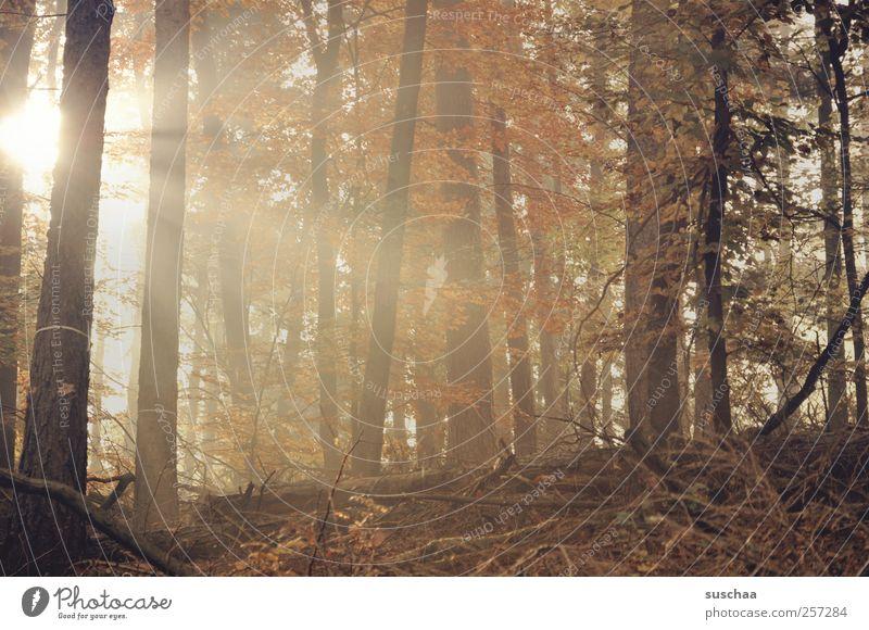 pfälzer wald IV Umwelt Natur Landschaft Herbst Klima Baum Wald Holz braun Hoffnung Wachstum Wandel & Veränderung Unterholz Bäume Blätter Laub Morgensonne
