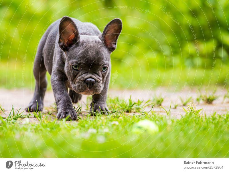 """eine junge Französische Bulldogge Wiese Tier Haustier Hund """"Französische Bulldogge Familienhund Welpe"""" 1 beobachten Spielen frisch Gesundheit Sympathie"""