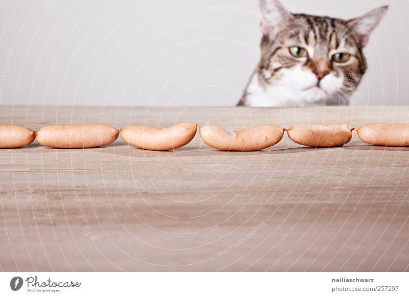 Versuchung Lebensmittel Wurstwaren Tier Haustier Katze Tiergesicht 1 Holz Blick Traurigkeit dick lecker braun gelb grau Tierliebe Begierde Neugier Interesse
