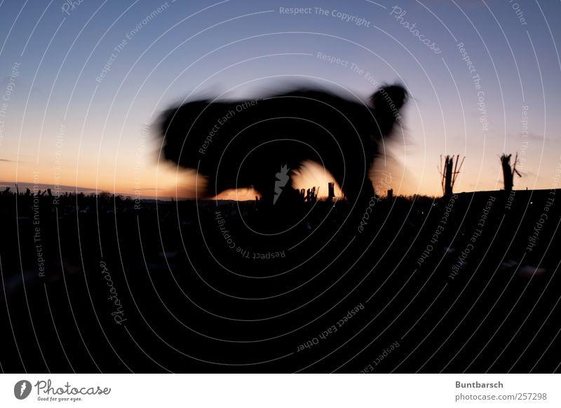 Schattenfell Hund Tier schwarz dunkel Bewegung Feld laufen rennen bedrohlich Fell Haustier Nutztier Schattenspiel schleichen Maisfeld