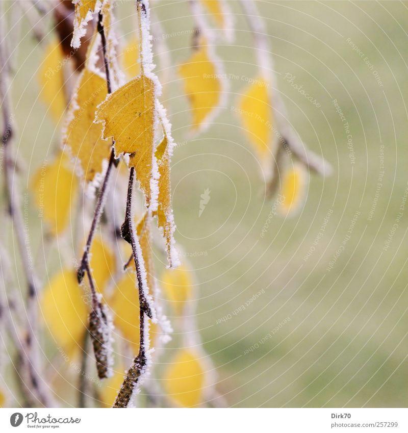 Birkenblätter, frostig Natur grün weiß Baum Pflanze Blatt gelb Herbst Wiese kalt Garten Eis gold natürlich Wandel & Veränderung trist