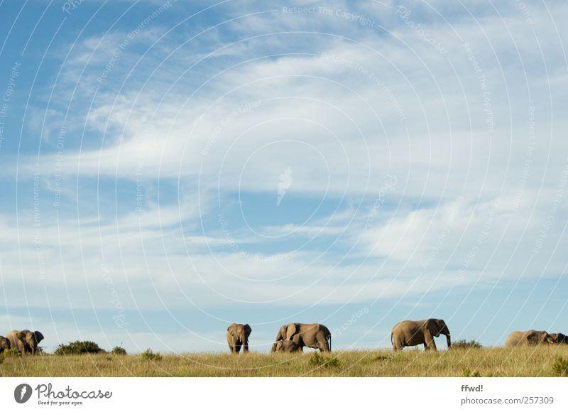 Kariega Himmel Ferien & Urlaub & Reisen Tier Ferne Umwelt Freiheit Gras Horizont Zusammensein Kraft groß Wildtier stehen Tiergruppe Unendlichkeit Afrika