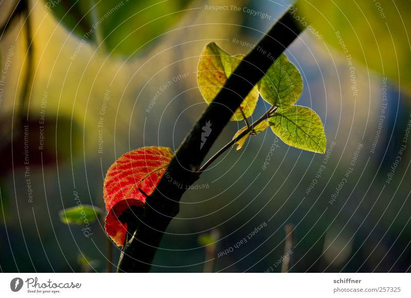 Damals... Natur Sonnenlicht Herbst Schönes Wetter Pflanze Baum Blatt Garten Park mehrfarbig grün rot Herbstlaub herbstlich Herbstfärbung Herbstwald Baumstamm