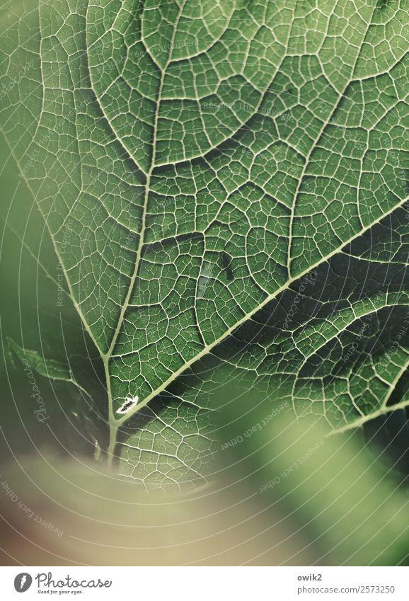 Grünzeug Umwelt Natur Pflanze Blatt Zucchini Garten dünn authentisch Gesundheit nah natürlich grün Netzwerk Leben Blattadern netzartig Farbfoto Gedeckte Farben