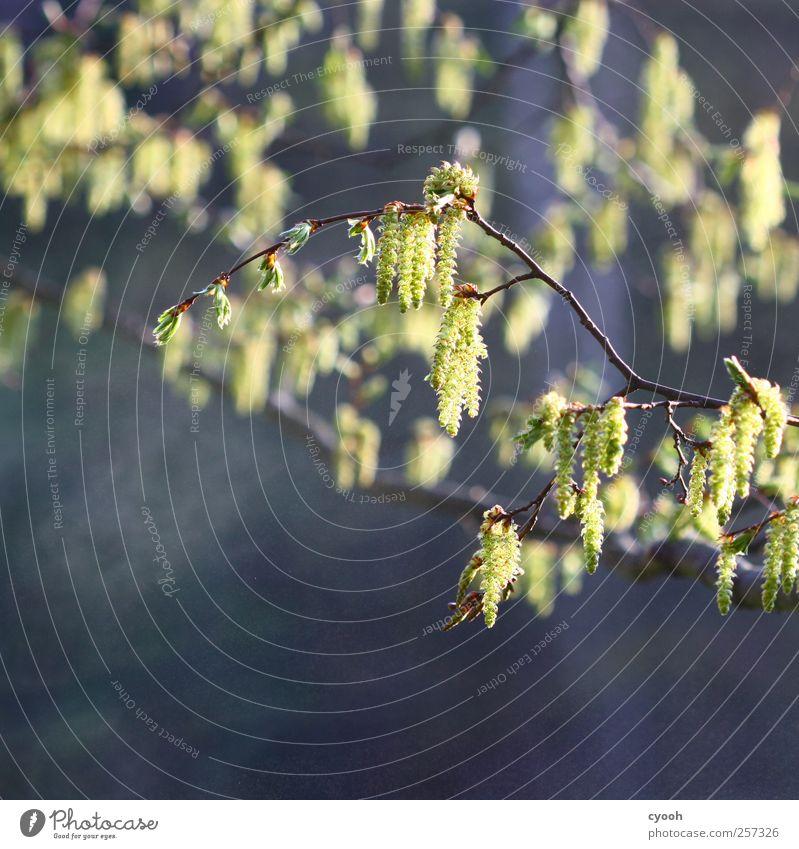 Frühlingserinnerungen... Natur blau grün Baum Pflanze gelb Leben Blüte Garten Luft hell Park Beleuchtung Kraft Wachstum