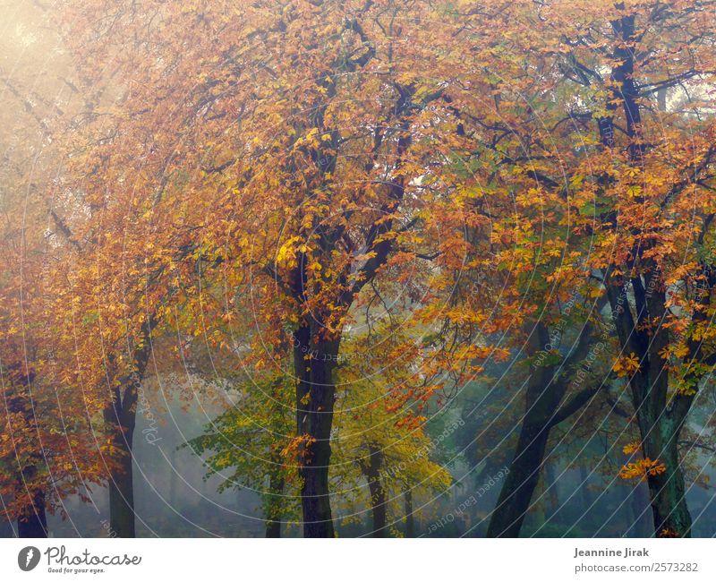 Herbstkleider Ausflug Umwelt Landschaft Nebel Baum Kastanienbaum Park Wald Friedhof gruselig natürlich Wärme orange Einsamkeit Natur Traurigkeit Vergänglichkeit