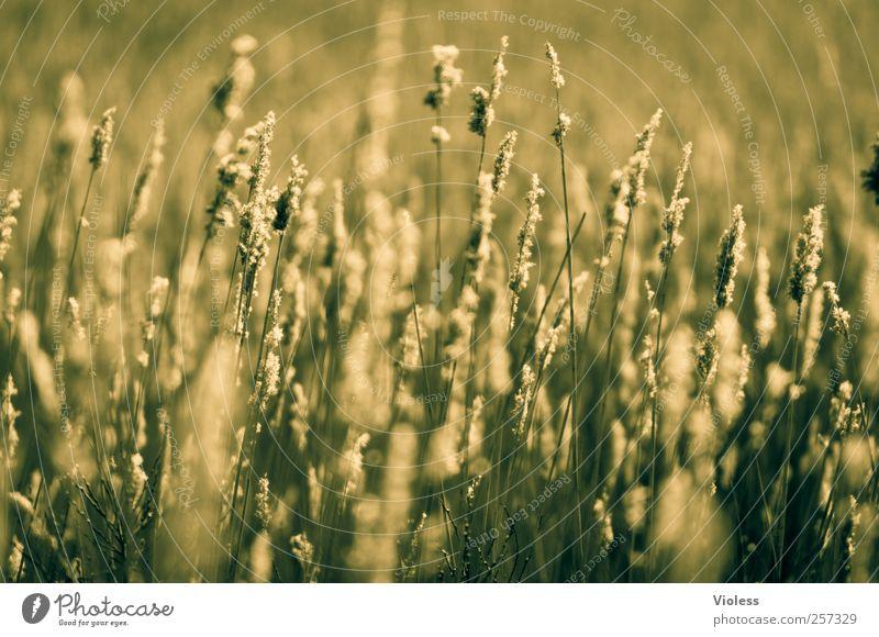 Spiekeroog | ...green grasses Natur grün Pflanze ruhig Gras Gelassenheit