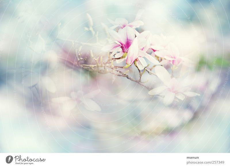 ich träum vom Frühling Natur Pflanze Baum Blüte Magnolienbaum Magnoliengewächse Magnolienblüte außergewöhnlich Duft fantastisch hell natürlich Frühlingsgefühle