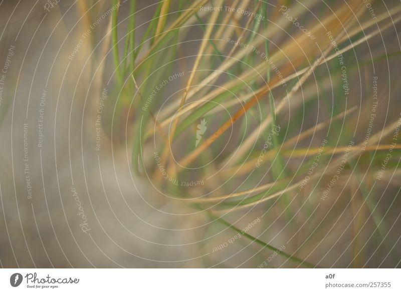 Seegras Natur Erde Sand Pflanze Gras Küste Strand Nordsee braun grün Fernweh Einsamkeit Strandgras Farbfoto Außenaufnahme Nahaufnahme Detailaufnahme Muster
