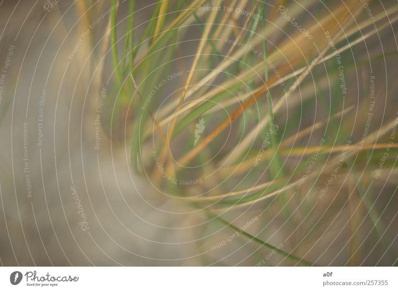 Seegras Natur grün Pflanze Strand Einsamkeit Gras Sand Küste braun Erde Nordsee Fernweh