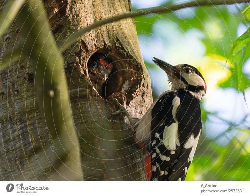 Specht im Baum Natur Sommer Pflanze grün Tier Wald schwarz gelb Garten Vogel braun Park Wildtier Loch füttern