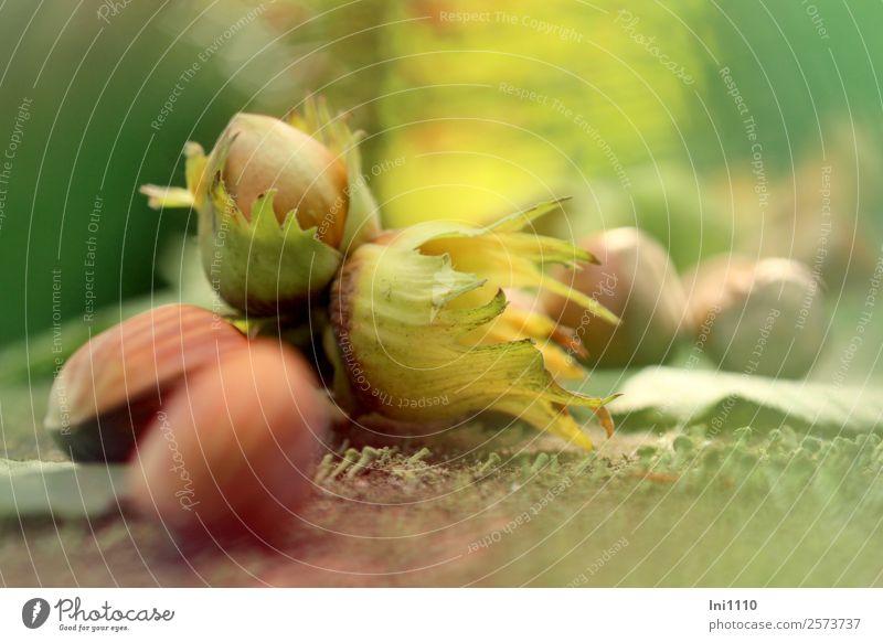 Haselnüsse Natur Pflanze Herbst Schönes Wetter Garten Park Feld Wald braun gelb grau grün rot schwarz weiß Nuss Vorrat Herbstfärbung Herbstbeginn herbstlich