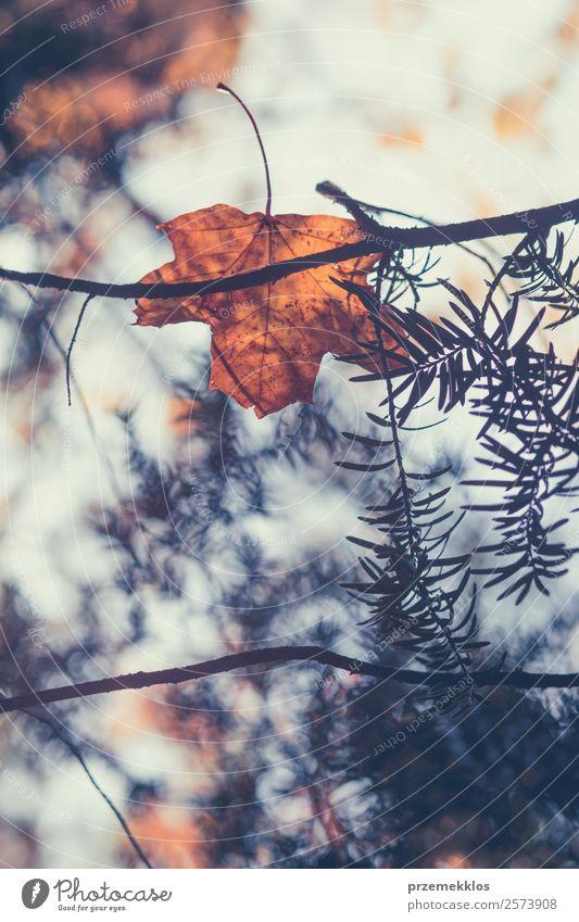 Herbstsaison, trockene gelbe und orangefarbene Blätter, die sich in Ästen verfangen. Umwelt Natur Pflanze Baum Blatt Grünpflanze Park Wald hell natürlich braun
