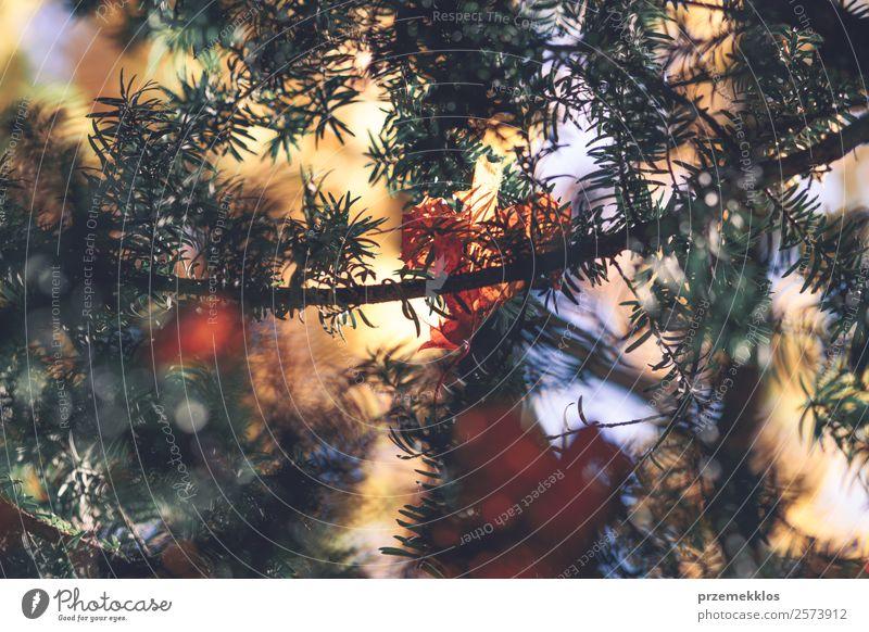 Herbstsaison, trockene gelbe und orangefarbene Blätter, die sich in Ästen verfangen. schön Natur Pflanze Baum Blatt Park Wald hell natürlich braun gold grün rot