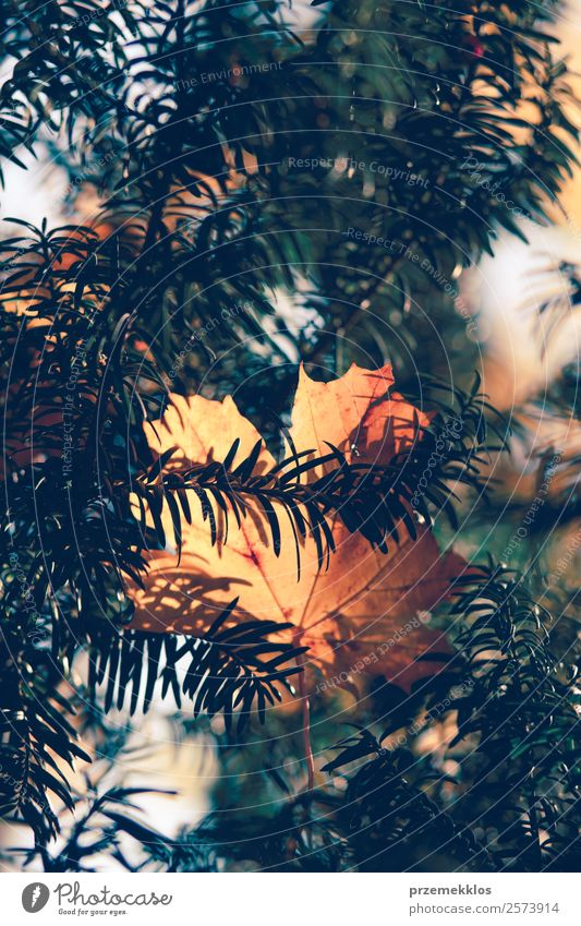 Herbstsaison, trockene gelbe und orangefarbene Blätter, die sich in Ästen verfangen. Umwelt Natur Pflanze Baum Blatt Park Wald hell natürlich braun gold grün