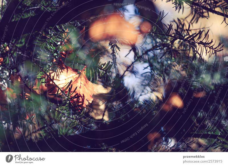 Herbstsaison, trockene gelbe und orangefarbene Blätter, die sich in Ästen verfangen. Natur Pflanze Sonnenlicht Baum Blatt Grünpflanze Park Wald hell natürlich