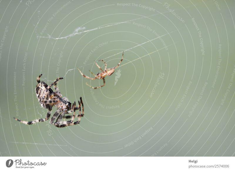 Brautwerbung der Kreuzspinne Umwelt Natur Tier Herbst Schönes Wetter Park Wildtier Spinne 2 Tierpaar hängen authentisch außergewöhnlich Zusammensein einzigartig