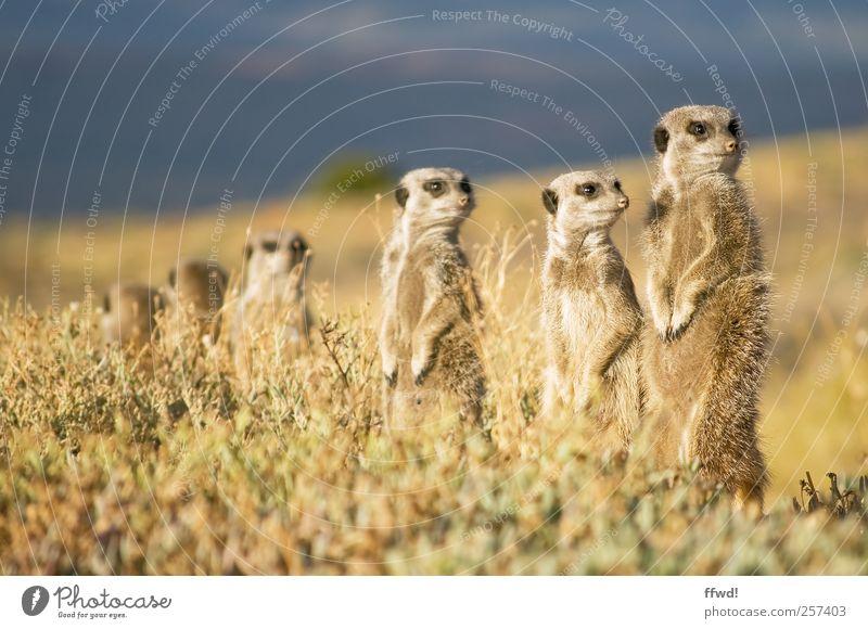 Wachmännchen Safari Expedition Natur Landschaft Pflanze Tier Gras Wildtier Erdmännchen Tiergruppe Rudel Tierfamilie beobachten entdecken Blick Neugier