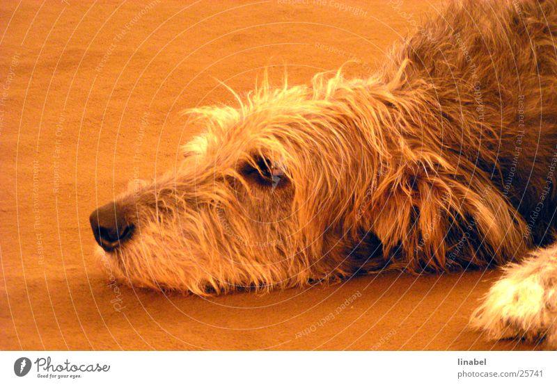 Der Tag ist lang ... Hund Treue Schnauze Fell Trauer orange Blick Traurigkeit irischer Wolfshund