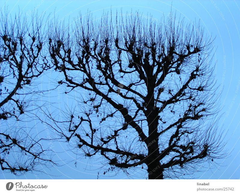Blaue Symphonie Herbst Baum Himmel blau Kontrast Silouette