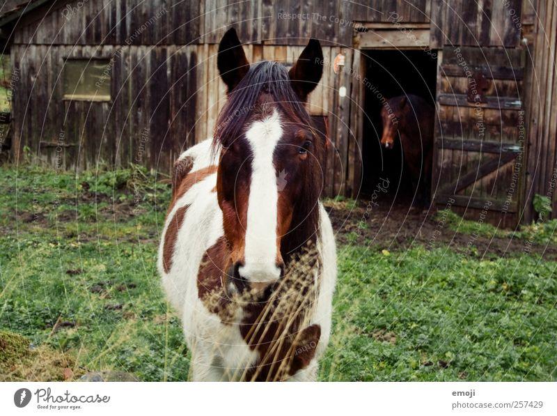 zu zweit allein Nutztier Pferd 2 Tier Tierpaar natürlich Hütte Stall Farbfoto Außenaufnahme Tag Tierporträt Vorderansicht Blick Blick in die Kamera