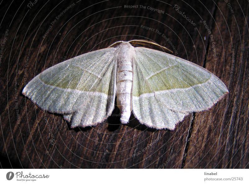 Seidiges Geschöpf Motte Insekt Seide glänzend Schmetterling Nachtschwärmer Makroaufnahme
